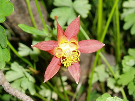 Crimson Columbine Closeup