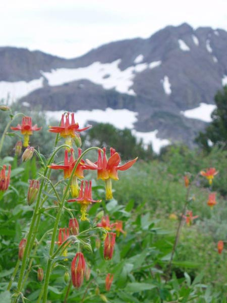 Aquilegia formosa in front of Snowy Mountains
